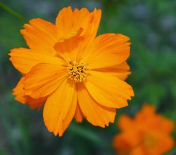 cosmos_orange_alea.jpg