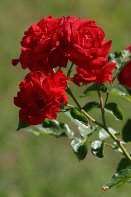 rose-rouge_alea.jpg